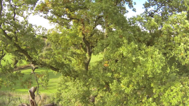 Old Oak Tree and its Canopy video