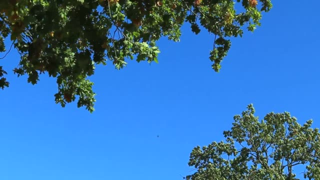 Old oak tree branches and blue sky