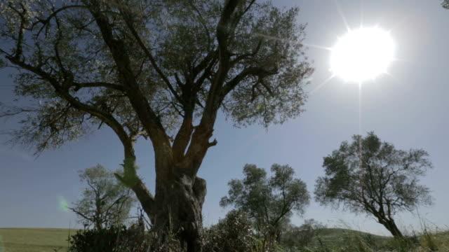старый оливковые деревья на солнце - хвойное дерево стоковые видео и кадры b-roll