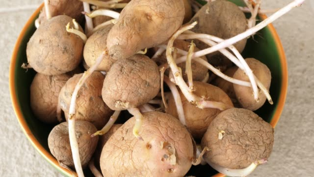 old potatos with sprouts tubers with roots - клубень стоковые видео и кадры b-roll