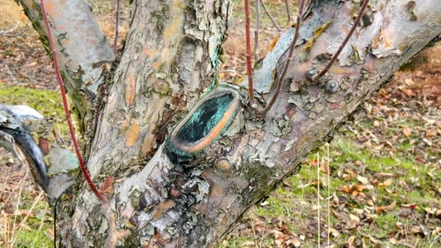 old prune scar on an apple tree video