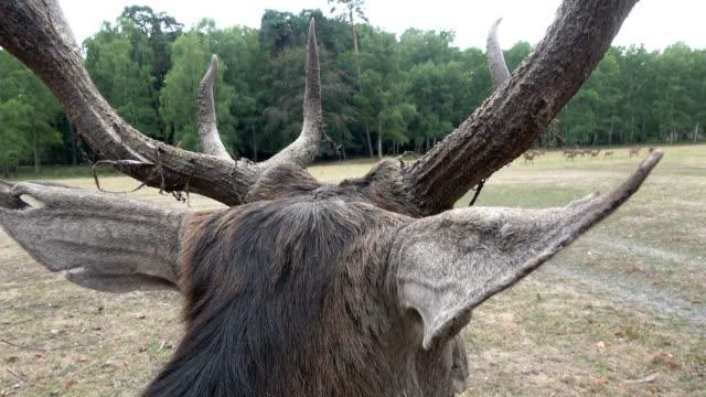 old red deer with large antlers looks after the herd, cervus elaphus, rothirsch, 4k - poroże filmów i materiałów b-roll