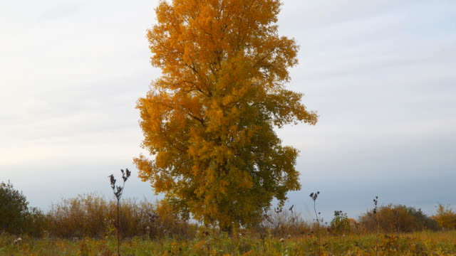 Old tall poplar with yellow leaves on autumn meadow