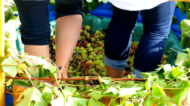 old traditions of wine production - press grapes with your feet video