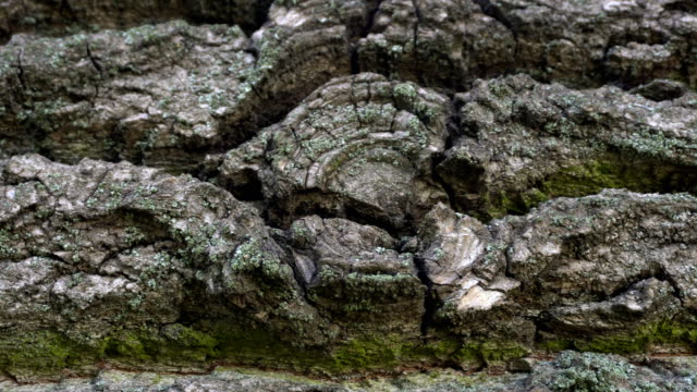 Old tree bark texture. Natural background. video