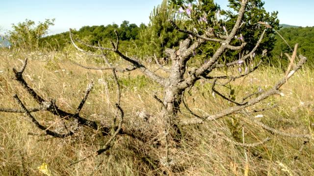 Old tree in field video