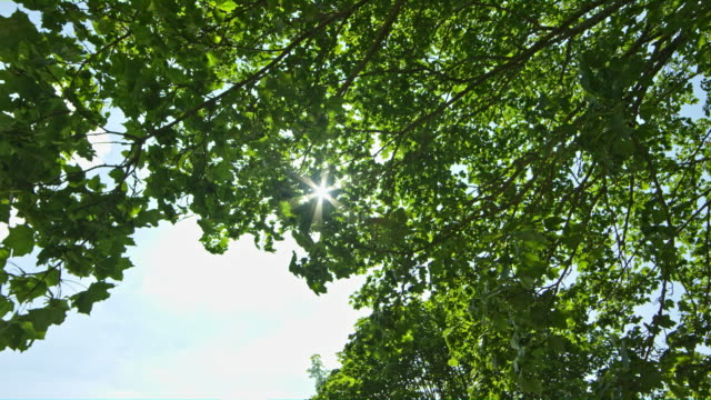 Old Tree Sways with the Wind in the Rays of the Sun Tree sways with the wind as the sun rays sparkle through the green foliage of tree leaves denmark stock videos & royalty-free footage