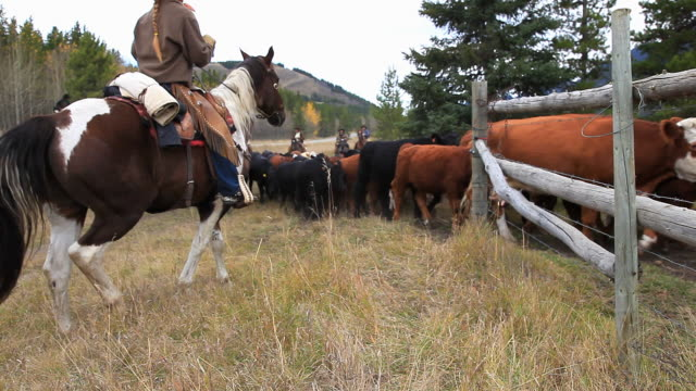 Old West Cattle Roundup video