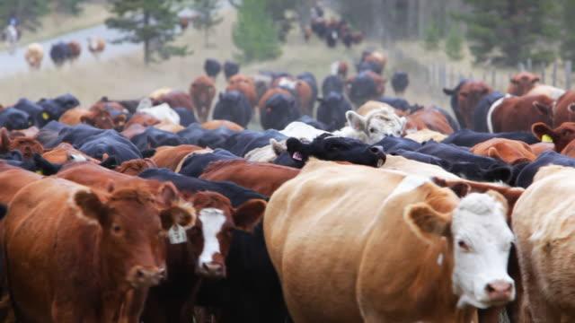 vídeos de stock e filmes b-roll de old west bovinos stampede - rancho quinta
