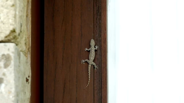 old wood door with gecko old wood door with gecko gecko stock videos & royalty-free footage