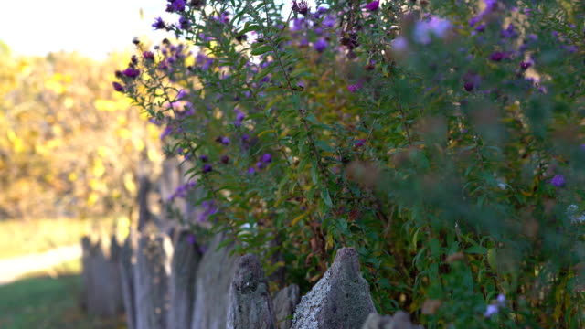 old wooden fence on a background of high purple flowers. wooden rods are infected with moss. shooting with hands on a warm sunny autumn day. FullHD video