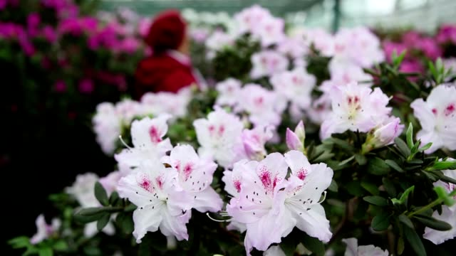 older women looking for odor of white azalea flowers in greenhouses and leave - pistillo video stock e b–roll