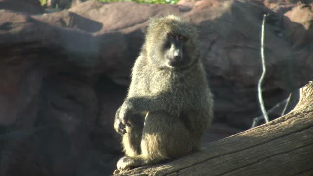 anubispavian sitzt auf log, sonnenbaden (hochauflösend/hd - faul ast stock-videos und b-roll-filmmaterial