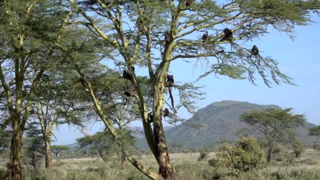 Olive Baboon Troop or Family in Yellow Fever Acacia Tree in Tanzania Africa video