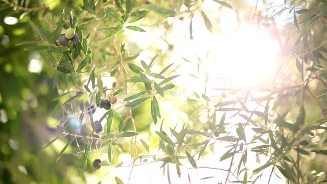 Olive branch with fruits. Olive groves and gardens in Montenegro Olive branch with fruits. Olive groves and gardens in Montenegro. olives stock videos & royalty-free footage