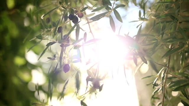 Branche d'Olivier avec des fruits. Oliveraies et jardins au Monténégro - Vidéo