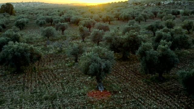 vidéos et rushes de olive jardin vue aérienne au coucher de soleil - olivier