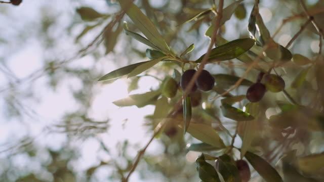 stockvideo's en b-roll-footage met olive garden. - olijf