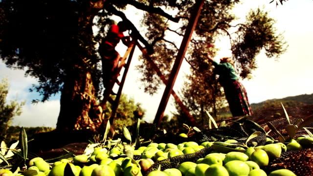 Olive Harvest Green Olive Harvest HD 1080 olives stock videos & royalty-free footage