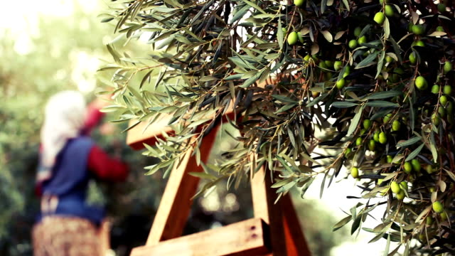 olive harvesting - italian food stock videos & royalty-free footage