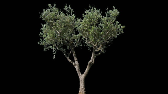 Olive Isolated Tree - video
