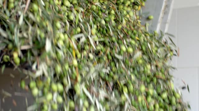 produzione di olio d'oliva.appena raccolto le olive che cadono nel frantoio - olio d'oliva video stock e b–roll