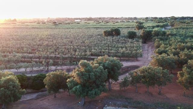 piantagione di olive - vista aerea - olio d'oliva video stock e b–roll