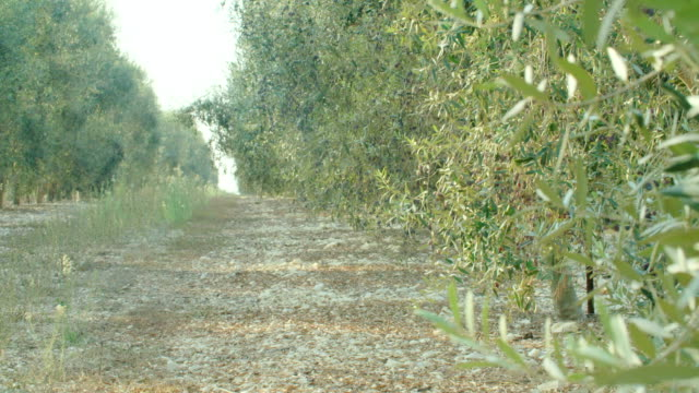Olive plantation with young olive trees video