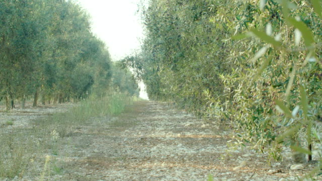 Olive plantation with young olive trees