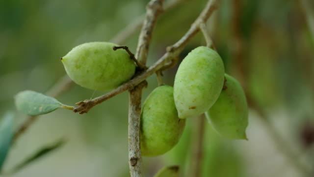 vidéos et rushes de plantation d'olive avec jeunes oliviers - olivier