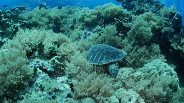 vídeos y material grabado en eventos de stock de tortuga en arrecife de coral - sea life park
