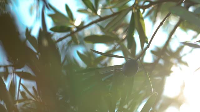 vidéos et rushes de vent et olivier - olivier