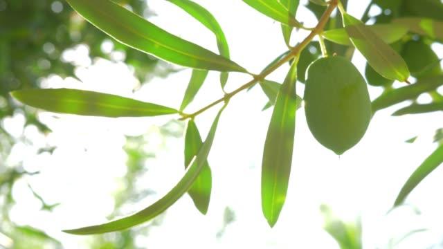 vidéos et rushes de rameau d'arbre contre le soleil - olivier
