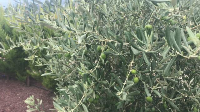 Filiais e azeitonas da oliveira - vídeo