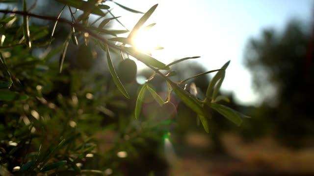 stockvideo's en b-roll-footage met olijfboomtakken - olijf