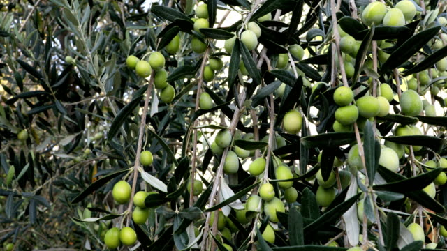 olive tree branches with green olives - olio d'oliva video stock e b–roll