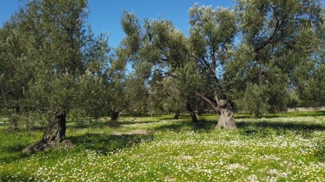 vidéos et rushes de jardin d'olivier au printemps - olivier