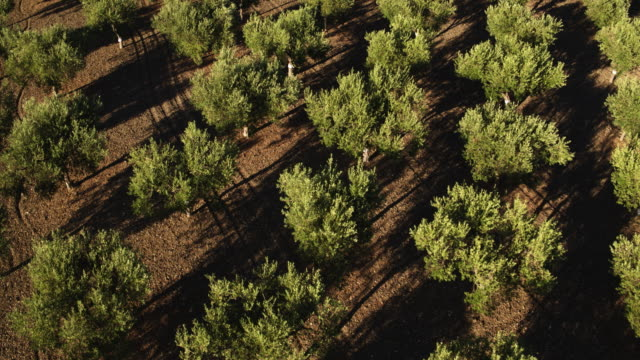 Olive Tree in Italy A drone view of Olive Tree in Sicily, Italy. olives stock videos & royalty-free footage