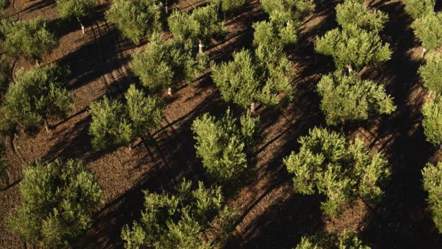 stockvideo's en b-roll-footage met olive tree in italië - olijf