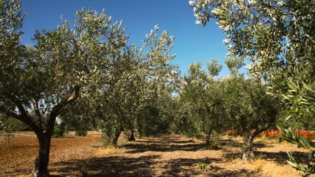 橄欖樹在義大利 - sicily 個影片檔及 b 捲影像