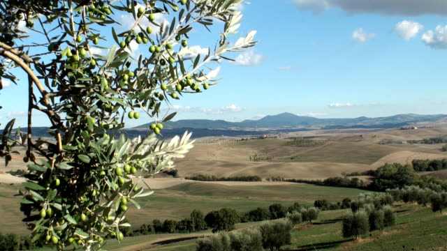 olive tree in tuscan landscape video