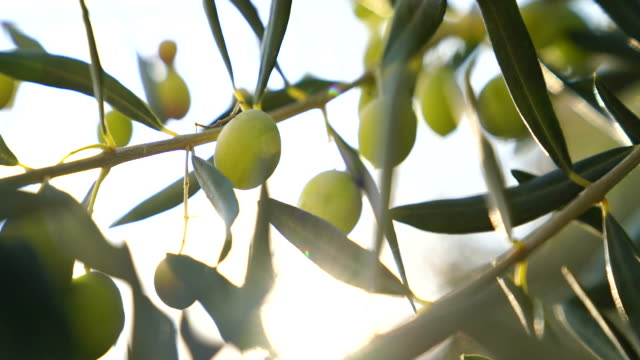 Olive Tree Olive tree with leaves olives stock videos & royalty-free footage