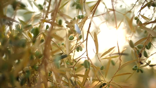 Olive tree Video of olive tree in Greece,lefkada, backlight olives stock videos & royalty-free footage