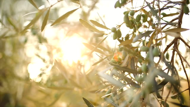 Olive tree with leaves Video of olive tree in Greece,lefkada, backlight olives stock videos & royalty-free footage