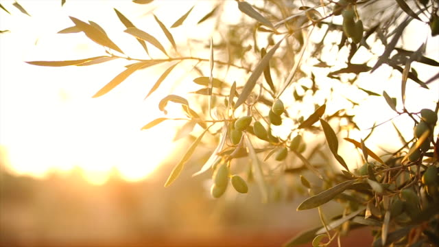 Olive tree with leaves video