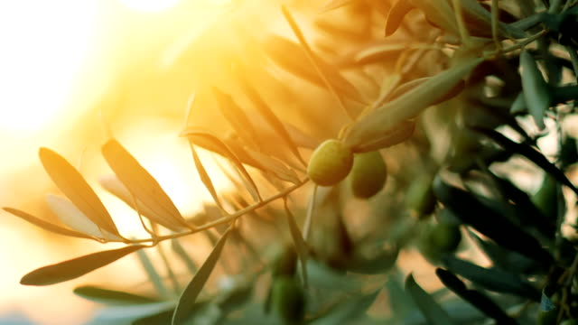 olive tree with sunlight beams - oliva video stock e b–roll