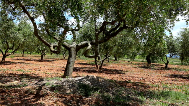 Olive trees field video