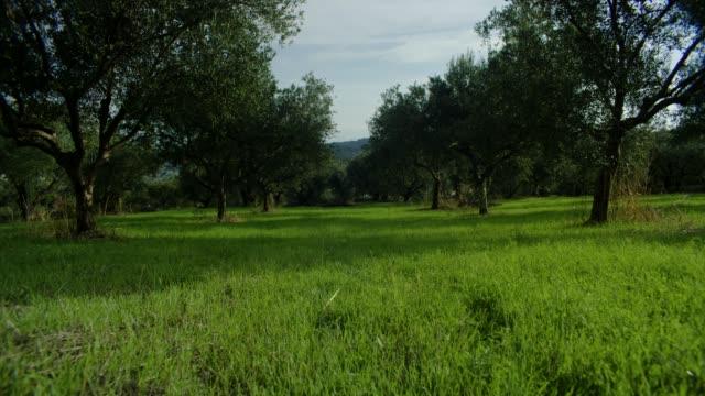 vidéos et rushes de oliviers sur corfou, grèce - olivier