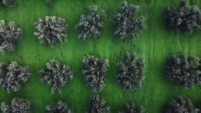 vidéos et rushes de des oliviers - olivier