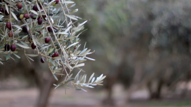 Olive Trees With Ripe Olives video